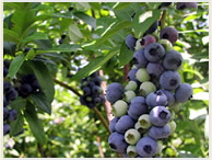 blueberry_18